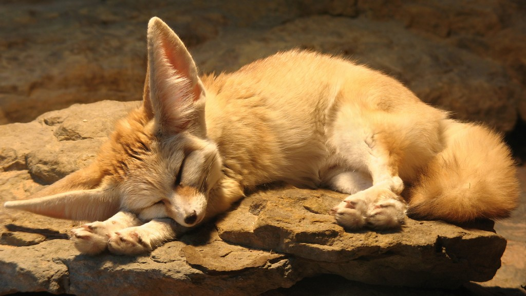 animals_rocks_fennec_sleeping_foxes_animal_fox_cute_desktop_1920x1080_hd-wallpaper-816133